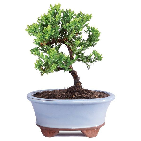 Brussel's Green Mound Juniper Bonsai - Smal