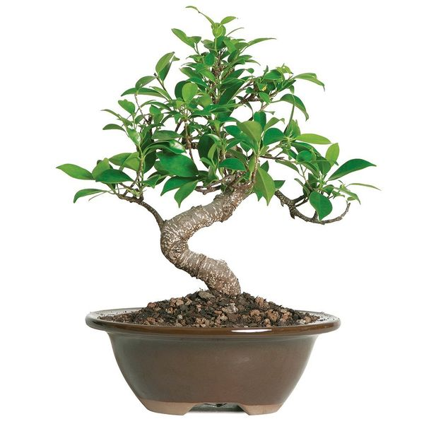 Bonsai Tree - 4 Years Old
