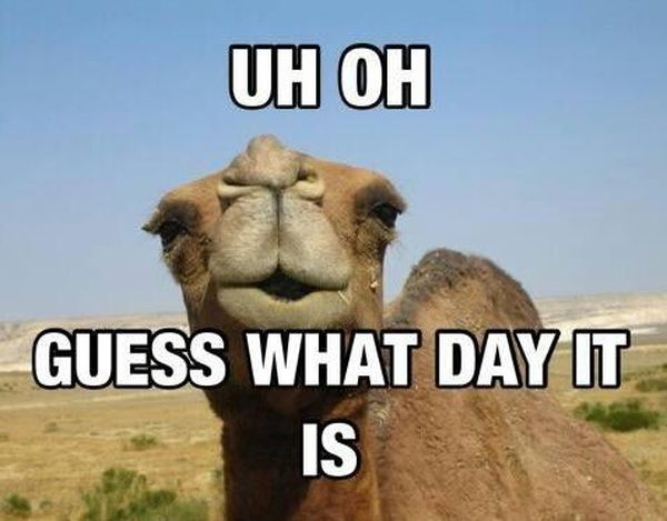 Funny Hump Day Pics with Camel 6